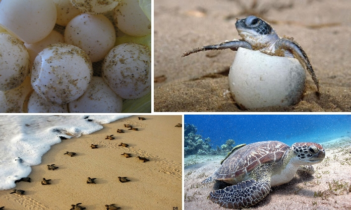 ciclo vida tartarugas